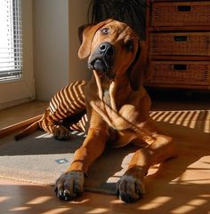 (The Rhodesian Ridgeback). Oh sweet lord jesus! I didn't realize they ALL did this. I thought it was a Titus thing. Rhodesian Ridgeback, Vizsla, Cute Puppies, Cute Dogs, Dogs And Puppies, Lion Dog, Dog Cat, Big Dogs, I Love Dogs