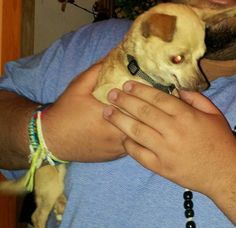 Meet Peanut JW a Petfinder adoptable Chihuahua Dog | Providence, RI | Adoption donation $499AGE: 2 years     WEIGHT:  4.6 poundsUp to date on all vaccinations and has...