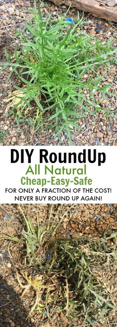 DIY RoundUp weed killer that's natural safe and cheap for your family. save money this summer with this safe weed killer alternative. Make one gallon of weed killer for under $5.00!