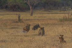 Aerial Combat: A Battle of the Talons Cubs, Wilderness, Safari, Battle, Pride, Elephant, Girls, Little Girls, Daughters