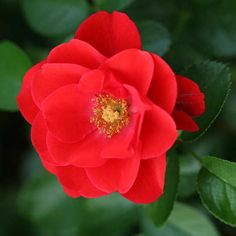 How beautiful is this new rose variety? We're loving the vibrant Flower Carpet Scarlet Rose.