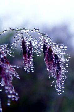 Rainsoaked lavender petals