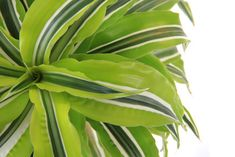 Plant care guide and tips for dracaena warneckii plant. Keep your indoor potted house plants green and growing. Plant care for all of your indoor plants...