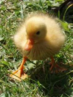 Duckling to go with my Chickies