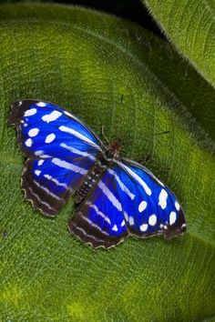 Blue Banded Purple Winged Butterfly