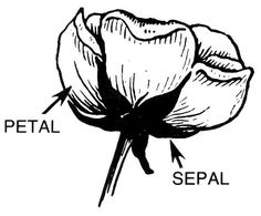 petal sepal label