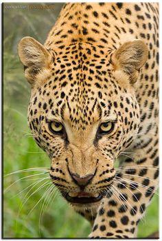 Leopard Staredown by Conrad Tan on 500px