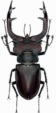 That is a work of art! Lucanus cervus // Stag Beetle via @tommytvd