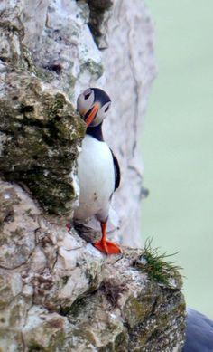 Puffin at Bempton Cliffs