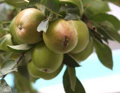 2012_08_26-apples.jpg