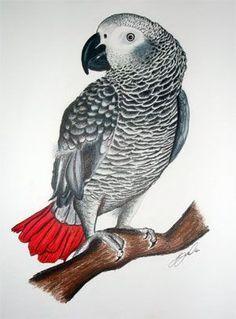 looks like my Grady. Music Drawings, Bird Drawings, Animal Drawings, Parrot Drawing, Parrot Painting, Parrot Tattoo, Senegal Parrot, African Grey Parrot, Pet Rocks