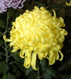 Habitually Chic®: Kiku: The Art of the Japanese Chrysanthemum Japanese Chrysanthemum, Japanese Flowers, Yellow Chrysanthemum, Yellow Flowers, Beautiful Flowers, Wild Flowers, Crysanthemum, Bloom Blossom, Begonia