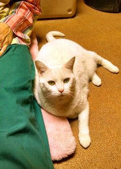 Sarah is about 10 years old, spayed and up-to-date on her vaccinations. She has tested negative for FIV and FeLV. She would do best in a quieter home with no children or other cats.