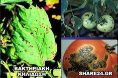 Αναγνωρίστε τις Ασθένειες της Ντομάτας και Αντιμετωπίστε τες με Βιολογικό Τρόπο! - share24.gr Eggplant, Vegetables, Plants, Eggplants, Vegetable Recipes, Plant, Veggies, Planets