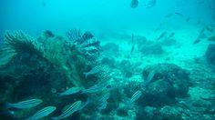 イサキとメジナがたくさん群れる熱海沖初島でダイビング