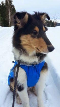 Amorwood's Joy n'Special: Sälli 16viikkoa Rough Collie Puppy, Collie Puppies, Corgi, Joy, Animals, Corgis, Animales, Border Collie Pups, Animaux