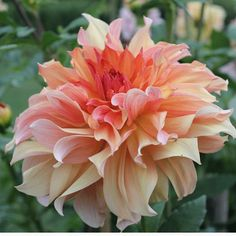 """This is a stunning informal decorative dahlia originally introduced in 1928, with luscious blooms held perfectly erect on sturdy stems. Deep peach centers open up to glowing bronze petals dusted with gold.  Type: informal decorative  Bloomssize:8"""" - 10""""  Plant height: 6'  Bloom time: July - October"""