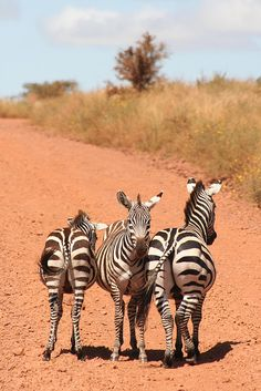 almost impossible to take a bad picture of zebras...