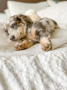 12 Amazing Reasons Dachshunds Are The Cutest Dogs On The Earth - Dachshund Bonus Cute Baby Dogs, Cute Cats And Dogs, Cute Dogs And Puppies, Cute Baby Animals, Cutest Dogs, Dapple Dachshund Puppy, Weenie Dogs, Dachshund Puppies, Mini Dachshund
