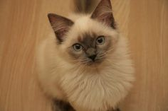 """""""A cat seems to go on the principle that it never does any harm to ask for what you want."""" --Joseph Wood Krutch"""