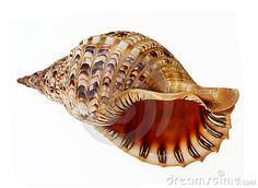 bigg seashell
