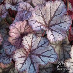 Heuchera Guardian A Cottage Garden Design, Cottage Garden Plants, Begonia, Growing Flowers, Planting Flowers, Beautiful Gardens, Beautiful Flowers, Coral Bells Heuchera, Cactus Plante