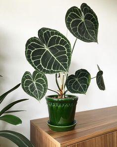 Calathea, House Plants Decor, Plant Decor, Plante Anthurium, Low Maintenance Garden Design, Decoration Plante, Plants Are Friends, Plant Aesthetic, Interior Plants