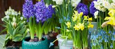 How to Grow Spring Bulbs Indoors - Palmers Garden Centre Garden Bulbs, Garden Pots, Garden Spaces, Palmers Garden Centre, Small Bouquet, Spring Bulbs, Bulb Flowers, Container Flowers, Plantar