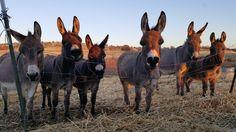 Phyllis Horne ~ Only Donkeys