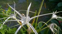 พลับพลึง (Hymenocallis littoralis)