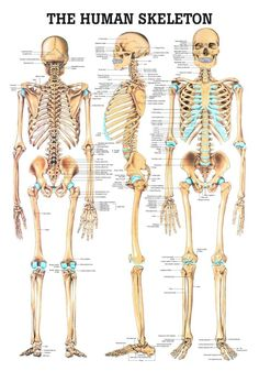 ac5fc5b719e6725d8fcdf75ca1ef569d--human-skeleton-anatomy-human-anatomy.jpg (701×1002)