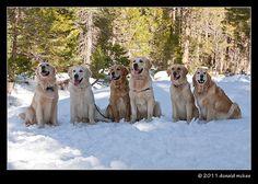 snow goldens