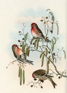 redpolls, John Gould