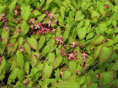 Epimedium – elfenbloem, bloeit april-mei prima bodembedekker, kan (half)schaduw verdragen, liefst humusrijke grond.