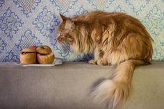 Eat us! - they say to Miranda 😻🍎🍏 #cat #catsofinstagram #red #cute #apple #food #yummy #tasty #petsandthekitchen #pets🐾