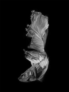 Stunning Portraits of Siamese Fighting Fish by Visarute Angkatavanich fish, make a great scratchboard