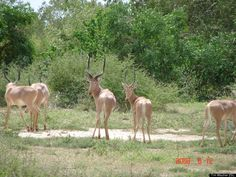 Scientific Name: Beatragus hunteri   Common Name: Hirola   Category: Antelope   Population: < 1000 individuals   Threats To Survival: Habitat loss and degradation, competition with livestock, poaching