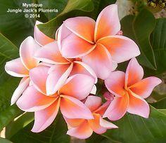 Plumeria 'Mystique' [Family: Apocyanaceae] - Jungle Jack's Plumeria, Thailand