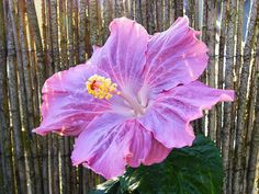 Hibiscus 'Cajun Blue' by Uta Naumann. Her Flick'r page is a great resource page for Hibiscus.