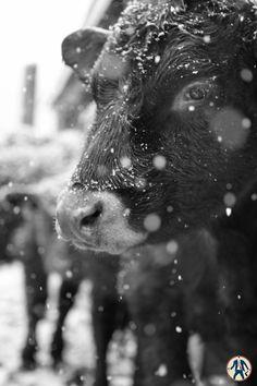 Snowy cow.