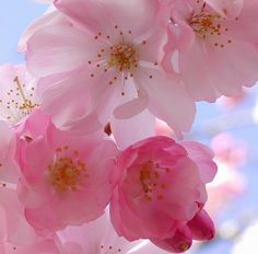 All time favourite flower the cherry blossom <3
