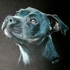 Head study of a Blue Staffy dog created using Derwent pastel pencils on black paper.