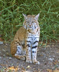 awesome Bobbie the Bobcat  (Lynx rufus) images photos