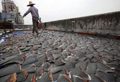 Shark fin soup gains prestige in some countries