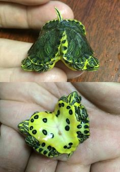 Conjoined Yellow-Bellied Sliders Photo credit: Michael Barrera