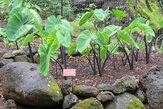 Mana 'ele'ele ('dark stem') taro | Flickr - Photo Sharing!