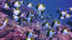 The pyramid butterflyfish is a small-sized fish that can reach a maximum length of 18 cm.  Its body is compressed laterally with a rounded body profile,... - The TerraMar Project - Google+
