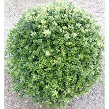 pittosporum nain midget arbuste