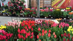 Tulips in Holland at Lenteflora Lisse part 2 - 19 feb 2016