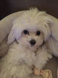 Excellent Photo dogs and puppies maltese Thoughts Carry out you cherish your puppy? Right canine caution in addition to education w Cute Puppies, Cute Dogs, Dogs And Puppies, Doggies, Baby Animals, Cute Animals, Maltese Dogs, Teacup Maltese, Dog Rules